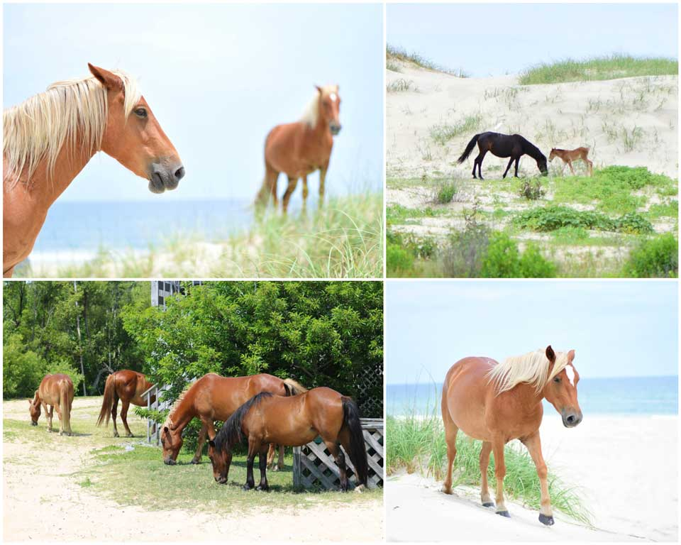 Wild Horses freely roam the Outer Banks, particularly in the dunes of Carova.