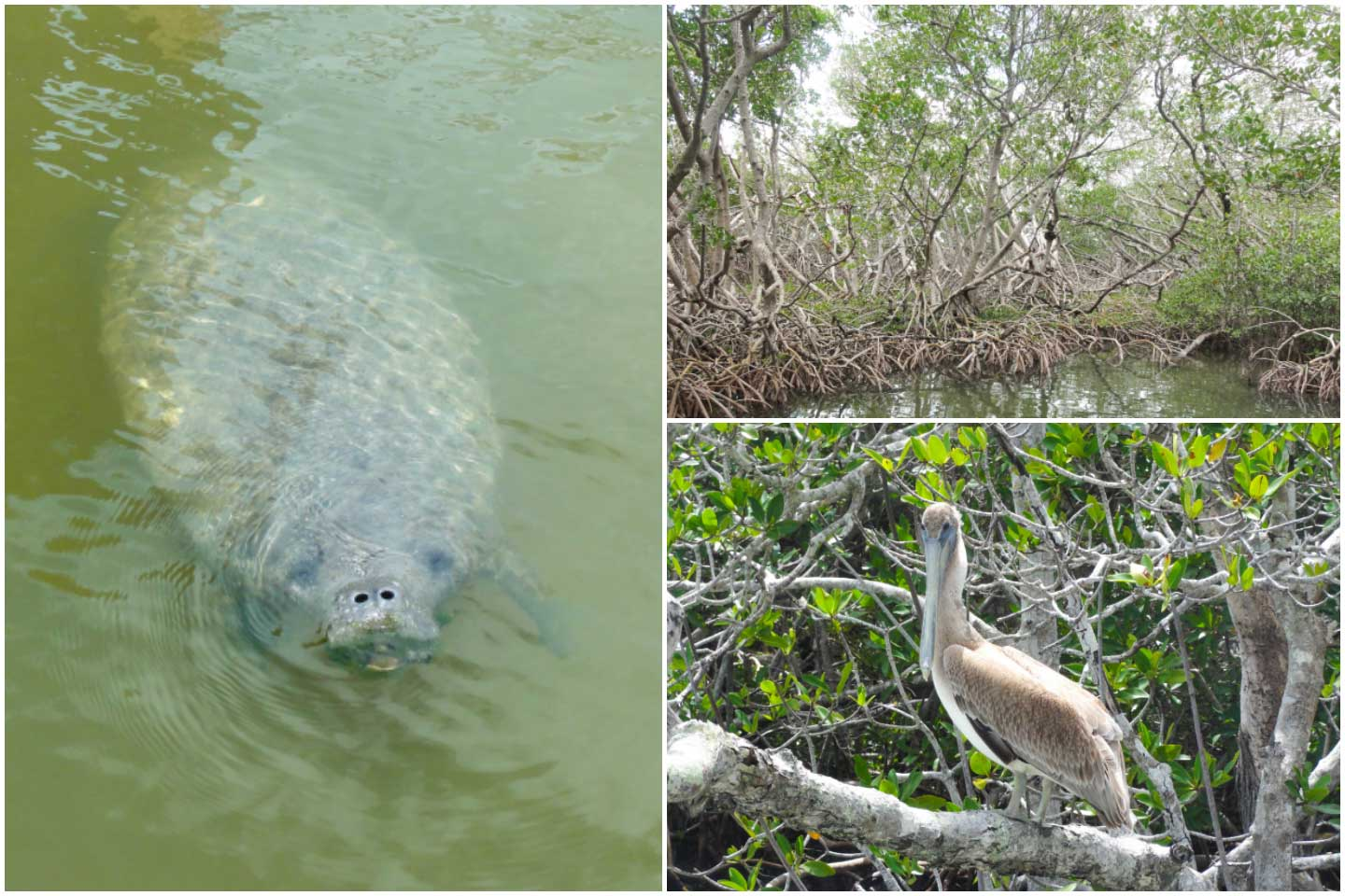 College of three photos from our Everglades tour - one of a manatee, one of mangroves, and one of a young pelican perched in the mangroves.